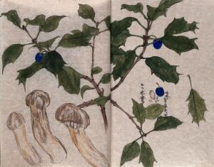 view A branch of holly (Ilex species) with blue berries and three ito mushrooms (Armillaria matsutake). Watercolour.