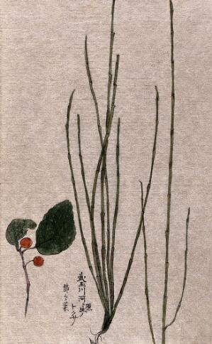 view Two plants, one a scouring rush (Equisetum species). Watercolour.