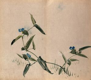 view A plant of the Commelinaceae family: flowering stem. Watercolour.
