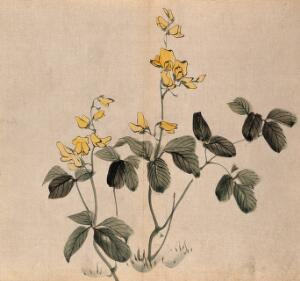 view A leguminous plant: two stems with yellow flowers. Watercolour.