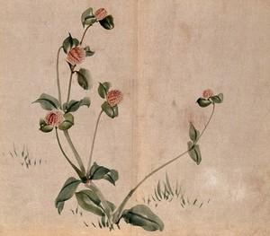 view A grassland plant, possibly a clover (Trifolium species): flowering stem. Watercolour.