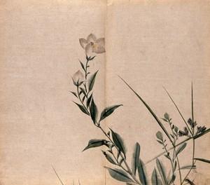view A campion plant (Silene species): flowering stem. Watercolour.