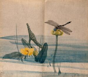 view A dragonfly on a lotus flower (Nelumbo species) held above the water. Watercolour.