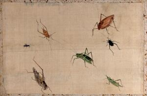 view Seven insects of the Orthoptera order, mostly grasshoppers. Gouache painting.
