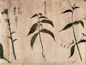 view Two flowering plants. Watercolour, c. 1870.