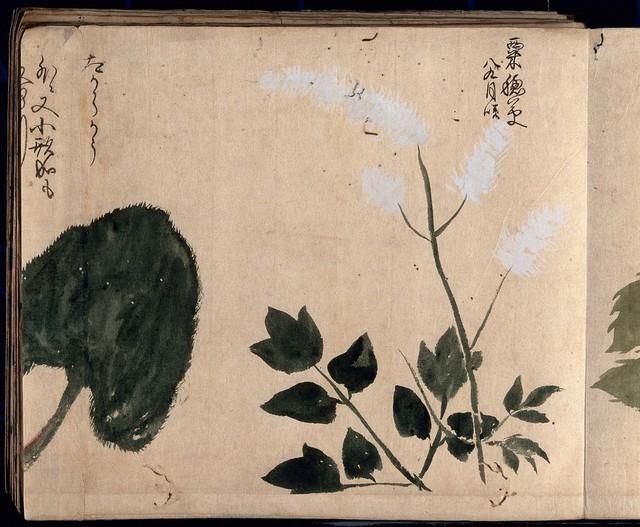 One white flowering plant. Watercolour, c. 1870.