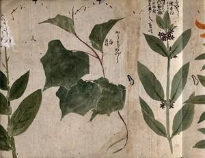 view Three flowering plants. Watercolour, c. 1870.