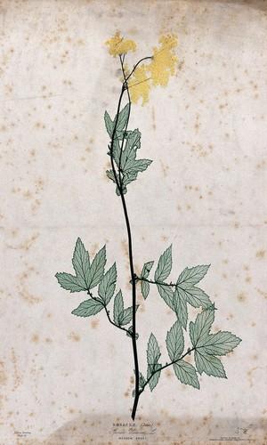view Meadowsweet (Filipendula ulmaria): flowering stem. Colour nature print by H. Bradbury.