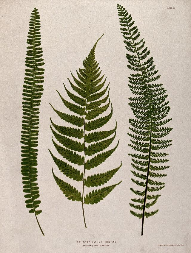 Three fern fronds. Chromolithograph after a nature print.