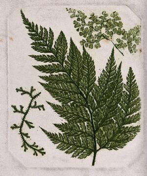 view Three species of fern, including a maidenhair fern (Adiantum species) and a clubmoss. Colour nature print by F. Branson, 1850.