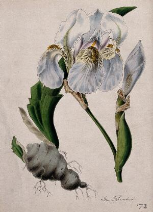 view Flag iris (Iris x germanica): flower and rhizome with some leaves. Coloured lithograph after M. A. Burnett, c. 1842.