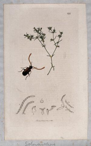 view Knawel plant (Scleranthus annuus) with an associated insect and its abdominal segments. Coloured etching, c. 1830.