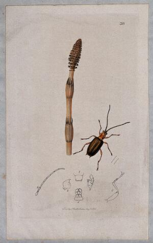 view A horsetail plant (Equisetum species) with an associated beetle and its anatomical segments. Coloured etching, c. 1830.