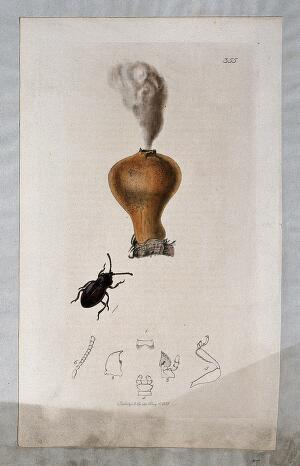 view A dehiscing puffball (Lycoperdon species) with an associated beetle and its anatomical segments. Coloured etching, c. 1831.