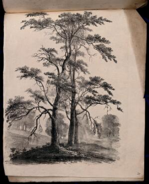 view Three trees, possibly pines (Pinus species), with surrounding vegetation. Lithograph, c. 1822.