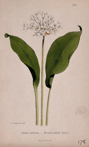 view Wild or wood garlic (Allium ursinum): flower and leaves. Coloured lithograph by W. G. Smith, c. 1863, after himself.