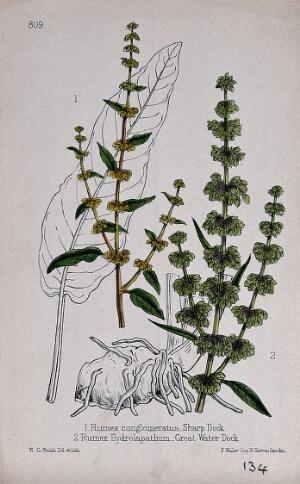 view Two species of dock (Rumex species): flowering stems with leaf and rhizome. Coloured lithograph by W. G. Smith, c. 1863, after himself.