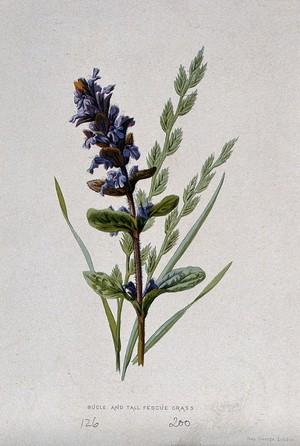 view A bugle flower (Ajuga reptans) and fescue grass (Festuca elatior). Chromolithograph, c. 1877, after F. E. Hulme.