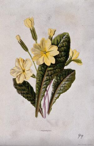 view Primrose (Primula vulgaris): flowering stems and leaves. Chromolithograph, c. 1877, after F. E. Hulme.