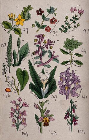 view Twelve British wild flowers with their common names. Coloured engraving, c. 1861, after J. Sowerby.
