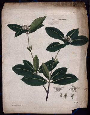 view Kwei plant (Osmanthus fragrans): flowering stem with floral segments. Coloured etching by J. Miller, c. 1771.