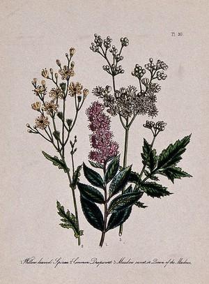 view Three British wild flowers, including dropwort (Filipendula vulgaris) and meadowsweet (Filipendula ulmaria). Coloured lithograph, c. 1856, after H. Humphreys.
