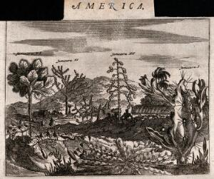 view Five large cacti and a sweet potato plant (Ipomoea batatas) in a tropical landscape. Etching, c. 1671.