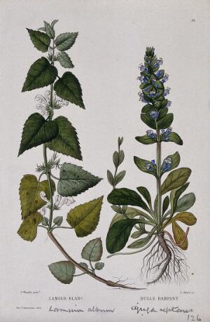 view White dead nettle (Lamium album) and common bugle (Ajuga reptans): entire flowering plants. Coloured etching by C. Pierre, c. 1865, after P. Naudin.