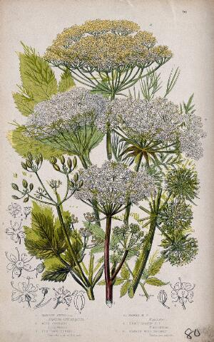 view Six flowering plants, including angelica (Angelica species) and hog's fennel (Peucedanum officinale). Chromolithograph by W. Dickes & co., c. 1855.