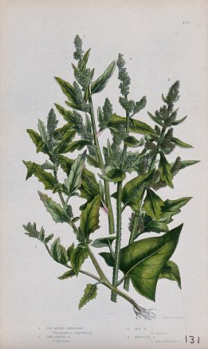 view Four flowering plants, all types of goosefoot (Chenopodium species). Chromolithograph by W. Dickes & co., c. 1855.