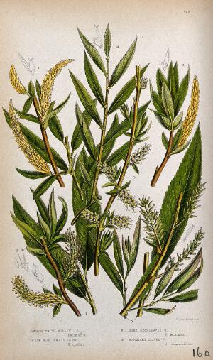 view Four plant stems with catkins, all from types of willow (Salix species). Chromolithograph by W. Dickes & co., c. 1855.