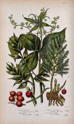 view Four flowering and fruiting plants: black bryony, herb Paris, common asparagus and butchers broom. Chromolithograph by W. Dickes & co., c. 1855.