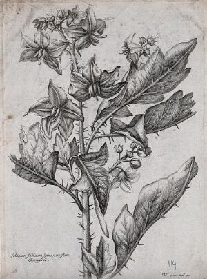 view A spiny Solanum plant: flowering stem. Etching by N. Robert, c. 1660, after himself.