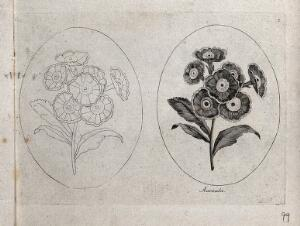 view An Auricula plant: two flowering stems, one in outline only. Etching, c. 1787.