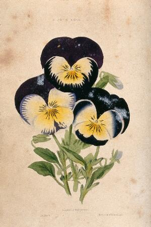view Garden pansies (Viola cultivars): three flowers. Coloured aquatint, c. 1839.