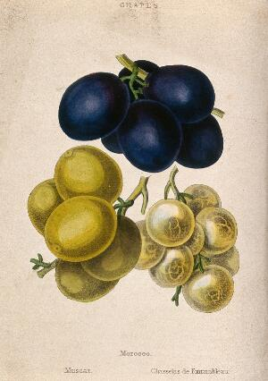 view Grapes (Vitis cultivars): three bunches of fruit. Coloured aquatint, c. 1839.