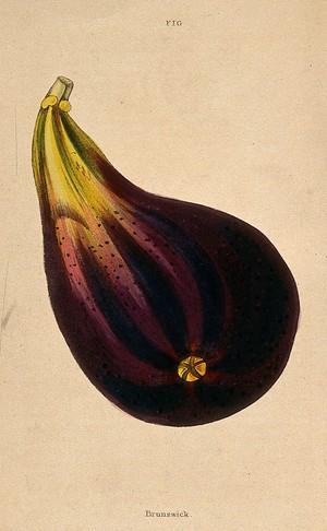 view A fig (Ficus carica cv.): one fruit. Coloured aquatint, c. 1839.