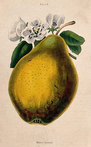 view Pear (Pyrus communis cv.): fruit and flowers. Coloured aquatint, c. 1839.