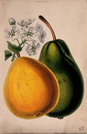 view Two pears (Pyrus cultivars): fruit and flowers. Coloured aquatint, c. 1839.
