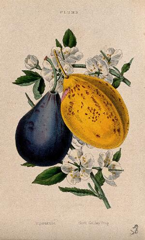 view Two plums (Prunus cultivars): fruit and flowers. Coloured aquatint, c. 1839.