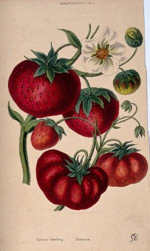 view Two strawberry plants (Fragaria cultivars): fruit and flowers. Coloured aquatint, c. 1839.