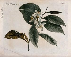 view Citron (Citrus medica): flowering branch. Colour and coloured mezzotint, c. 1741.