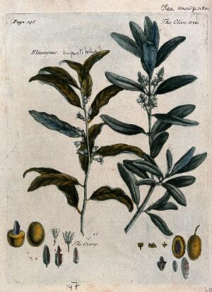 view Olive (Olea europaea) and Russian olive (Elaeagnus angustifolia): flowering branches and floral segments. Colour and coloured mezzotint, c. 1741.