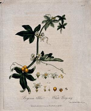 view White bryony (Bryonia dioica): flowering and fruiting stem with floral segments. Coloured etching after J. Miller, 1791.