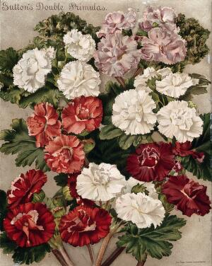 view Seven different cultivars of double-flowered primulas. Chromolithograph, c. 1890.