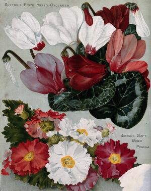 view Two plant cultivars: florist's cyclamens and mixed primulas. Chromolithograph, c. 1890.