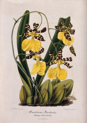 view A butterfly orchid (Oncidium barkerii): flowering plant. Coloured lithograph by G. Severeyns, c. 1869, after J. Vandamme.