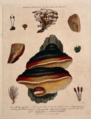 view Five fungi, including two Boletus species, with anatomical detail. Coloured etching by J. Pass, c. 1809, after J. Ihle.