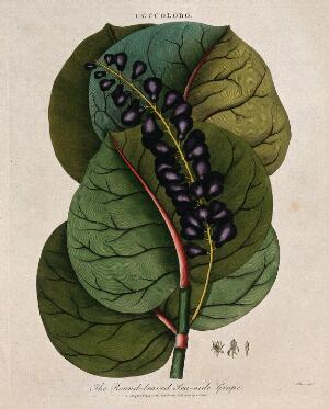 view Seaside grape (Coccoloba uvifera): fruiting stem and floral segments. Coloured etching by J. Pass, c. 1801, after J. Ihle.