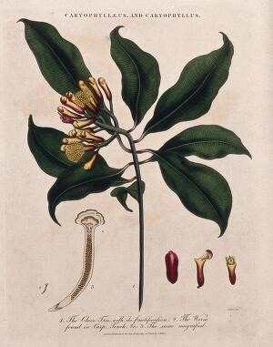 view Clove tree (Syzygium aromaticum): flowering and fruiting stem with cloves and parasitic worm. Coloured etching by J. Pass, c. 1808, after J. Ihle.